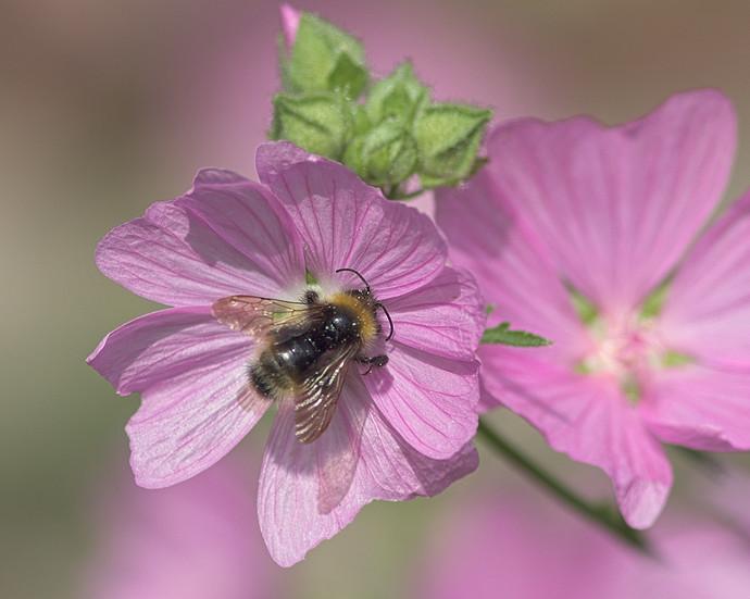 bumblebee.sunlight
