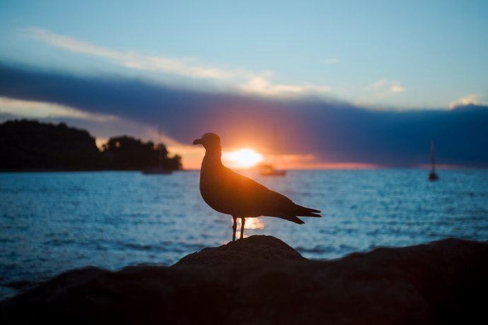 silhouetted.seagull