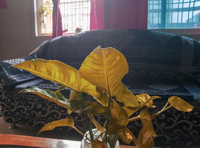 Orange-Plant