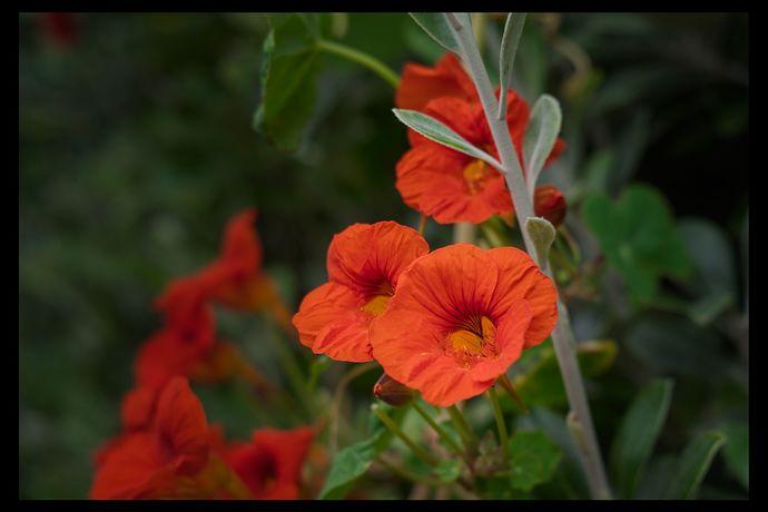 Difficult orange flower_5D3_0104